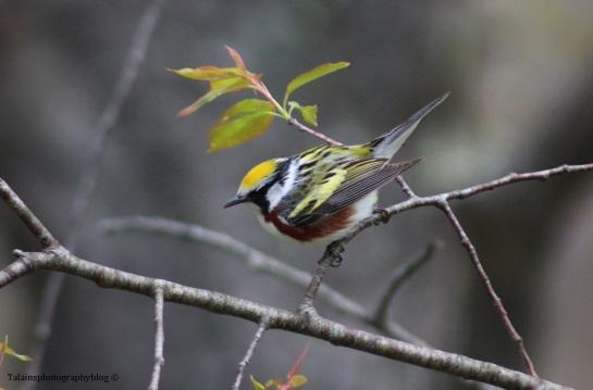 warbler-chestnut-sided-023