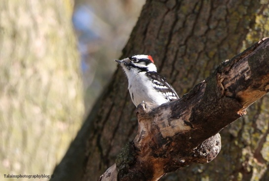woodpecker-downy-004
