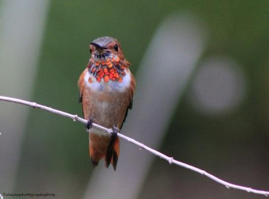 allens-hummingbird-010