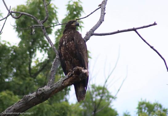 bald-eagle-023