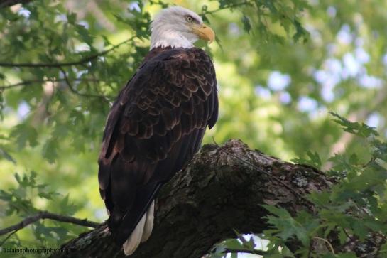 bald-eagle-044