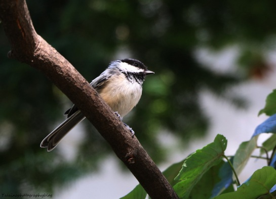 black-capped-chickadee-013