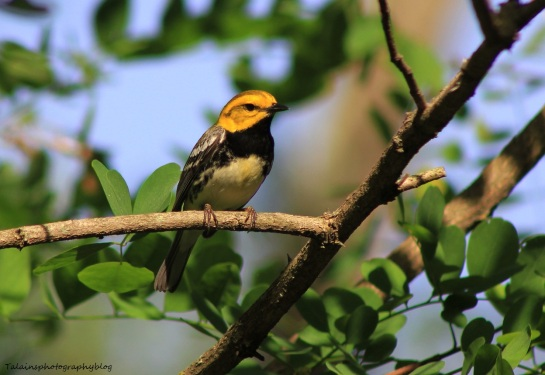 black-throated-green-warbler-005