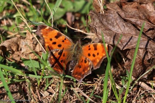 butterfly-001-comma