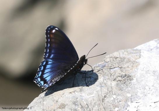 butterfly-011
