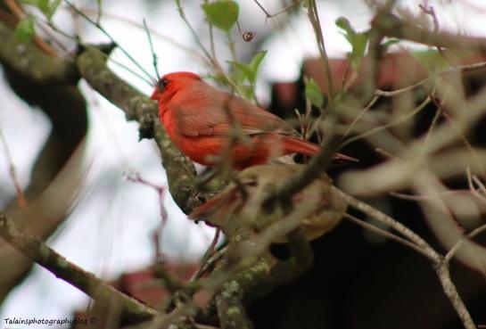 cardinal-011