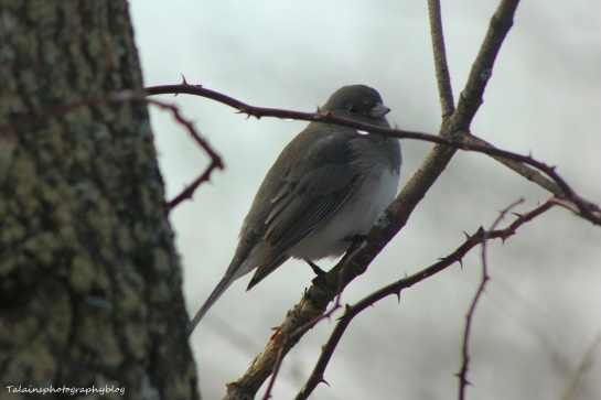 dark-eyed-junco015