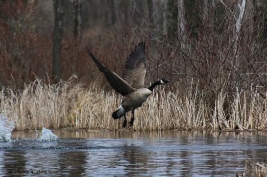 geese-canada-022