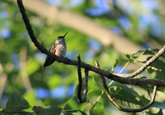 ruby-throated-hummingbird-011