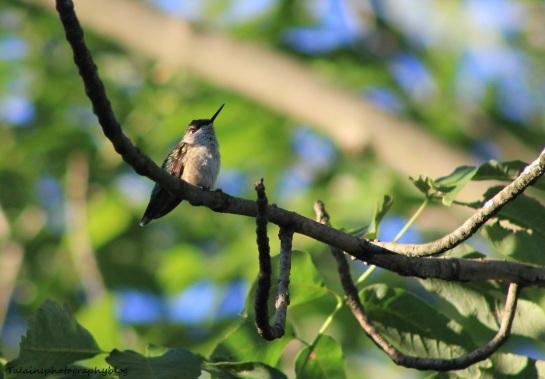 ruby-throated-hummingbird-011
