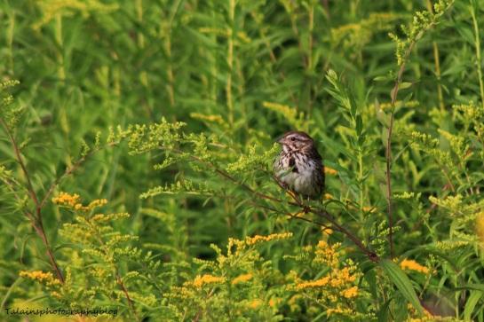 song-sparrow-020