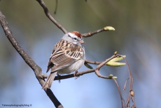 sparrow-chipping-011