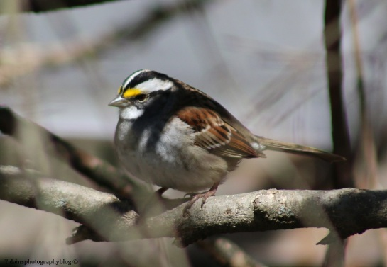 sparrow-white-throated-005