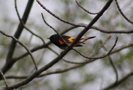 warbler-american-redstart-011