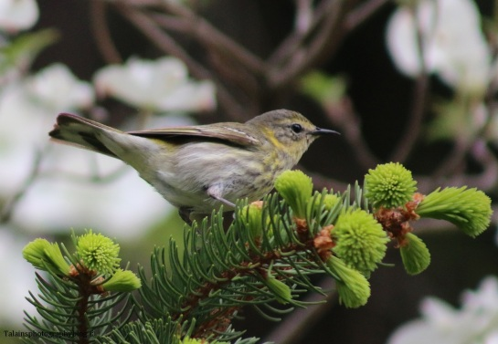 warbler-cape-may-020