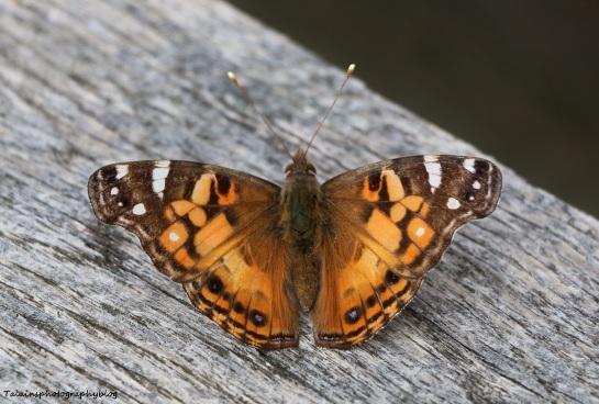 butterfly-017