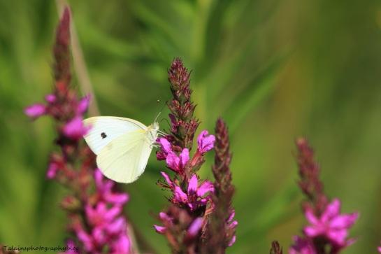 butterfly-028