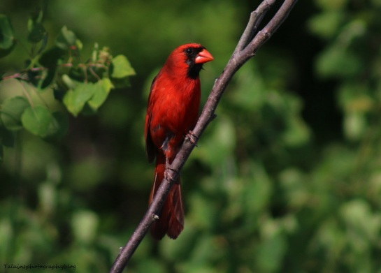 cardinal-012