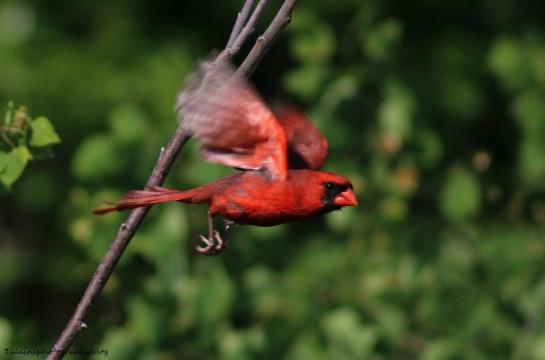 cardinal-013