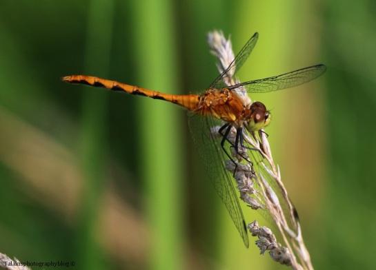 dragomfly-023