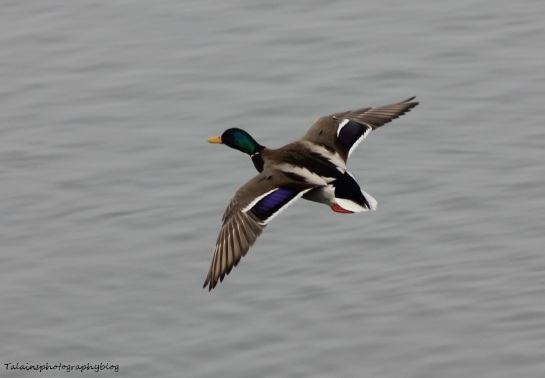 ducks-mallard-032