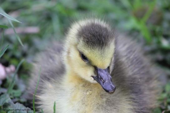goslings004