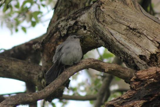 gray-catbird-003
