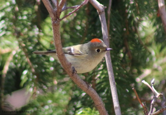 kinglet-ruby-crowned-026