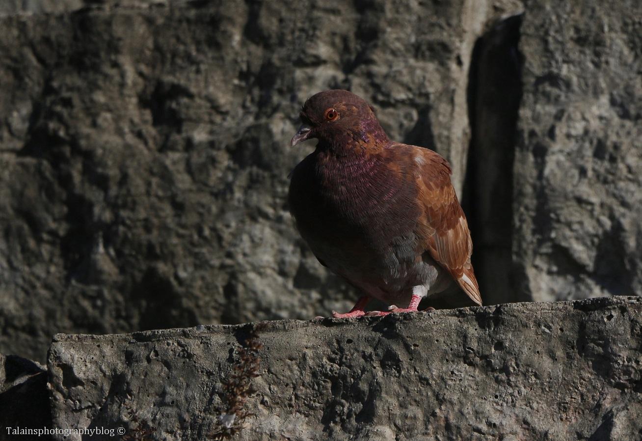 pigeon-003