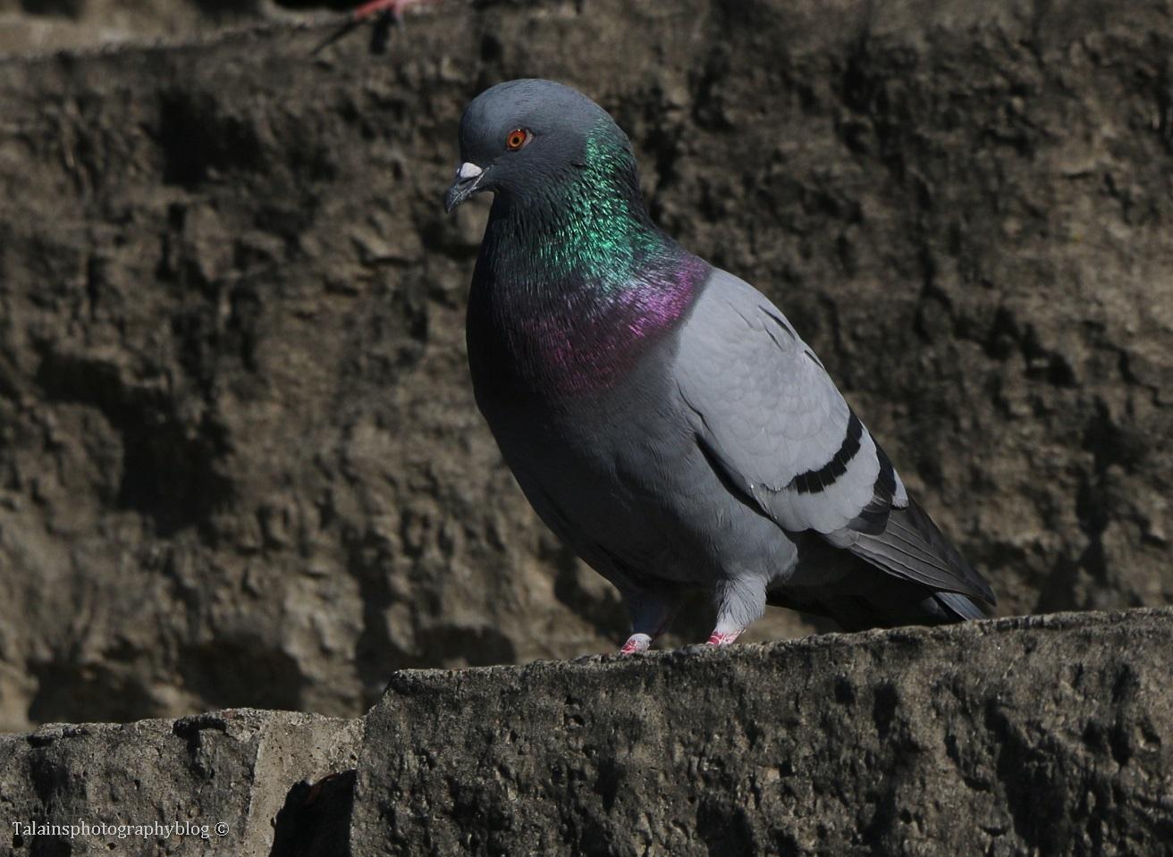 pigeon-005