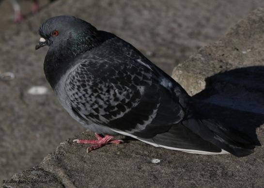 pigeon-006
