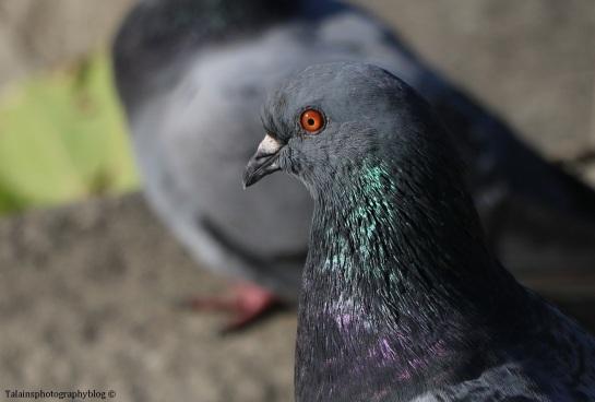 pigeon-008