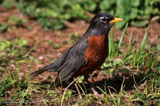 amrican-robin-005