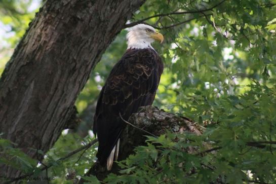 bald-eagle-041