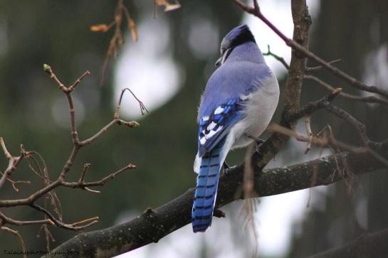bluejay033