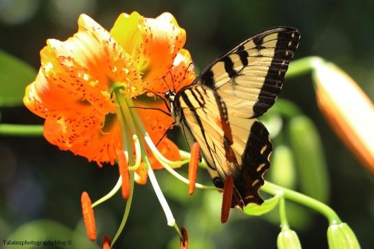 butterfly-038