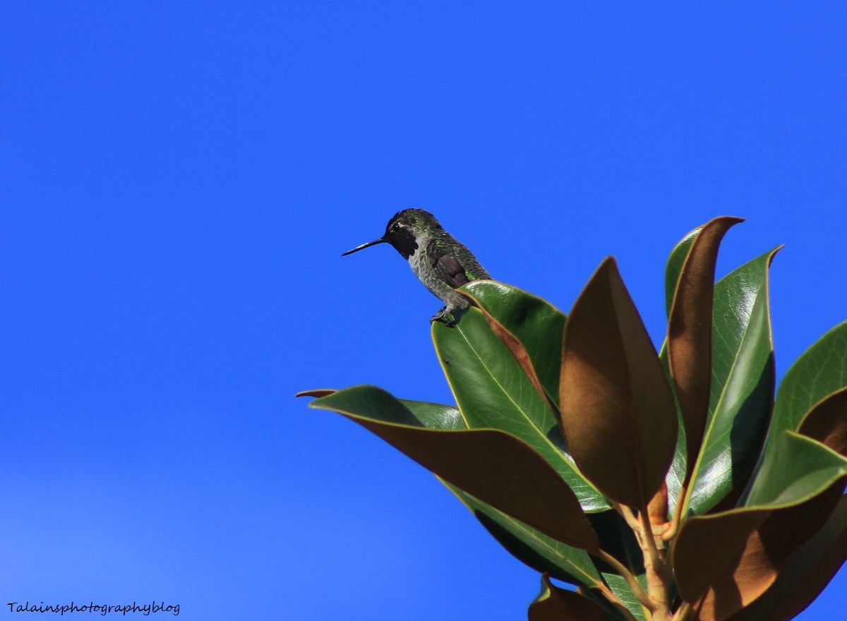 Kolibri Talainsfotografijablog-8870