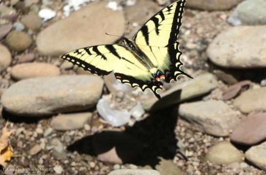 butterfly-035
