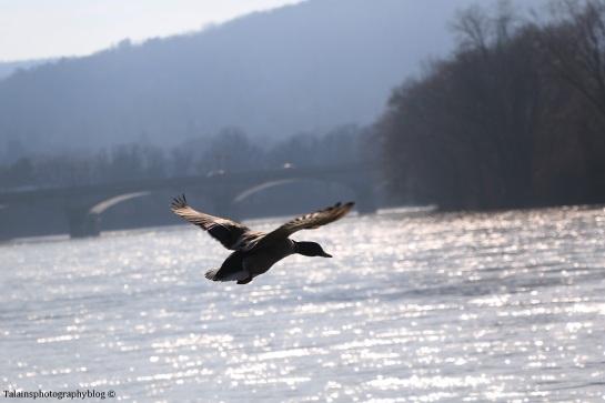 ducks-mallard-003