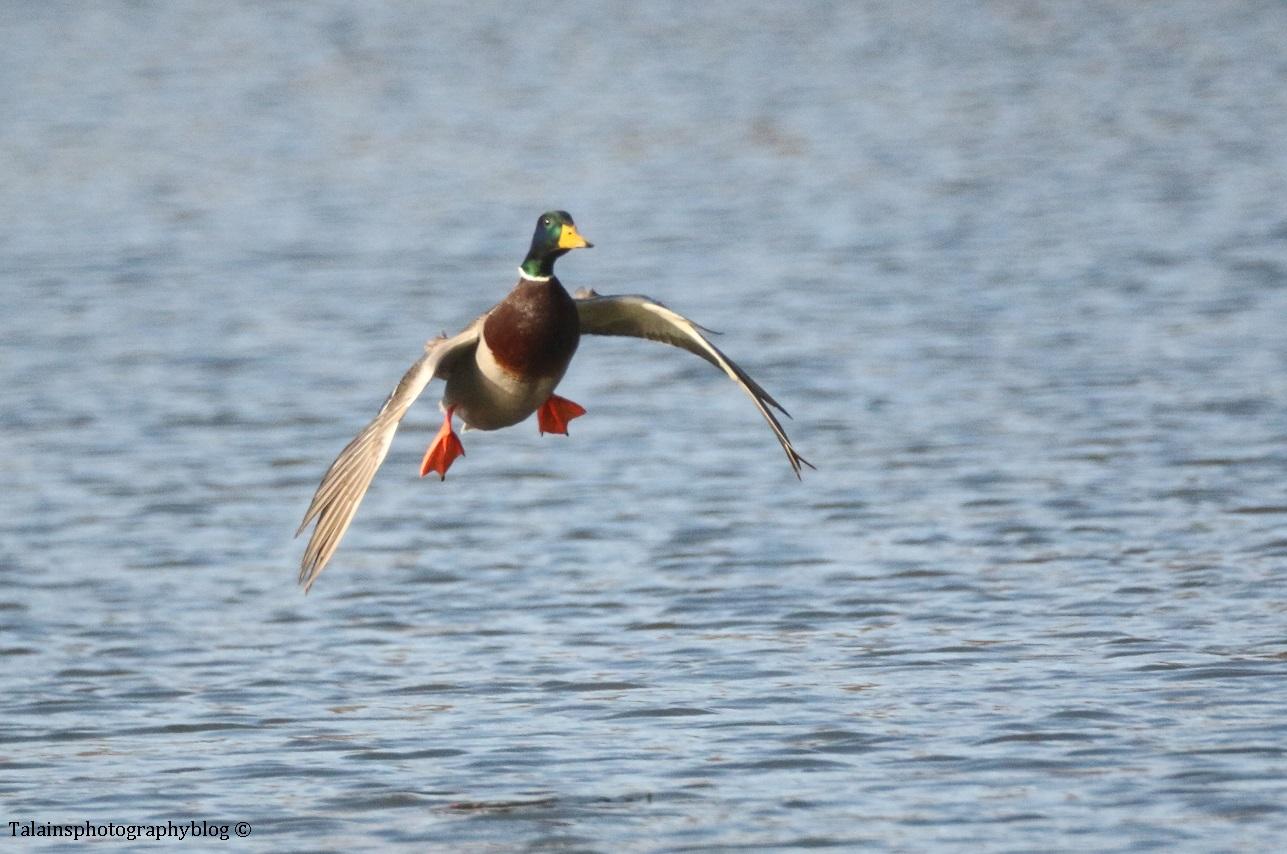 ducks-mallard-006